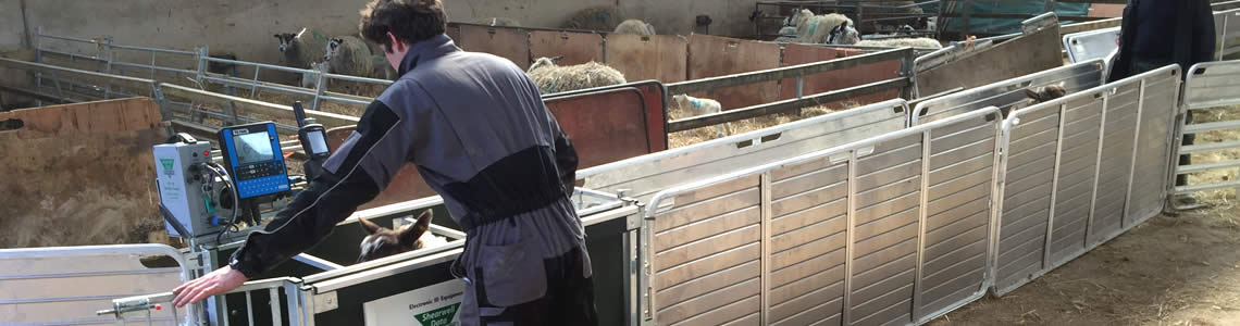 RFID sheep weigh crate
